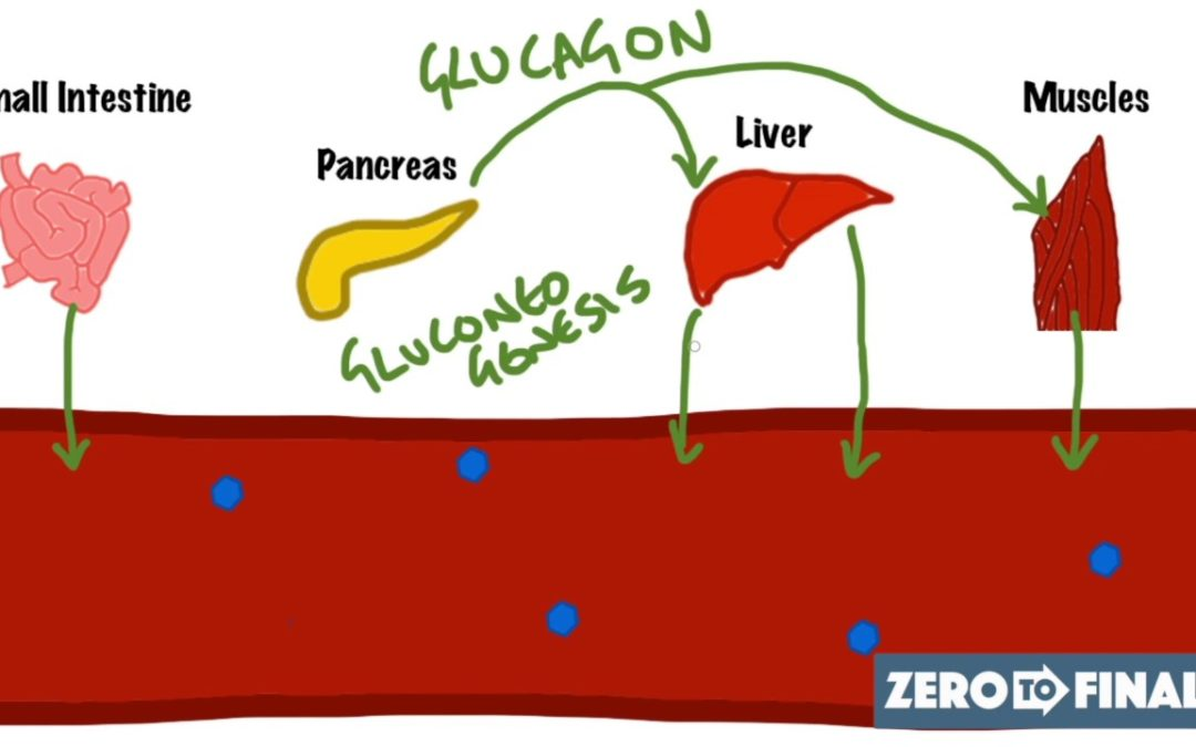 Blood Glucose Regulation and Diabetes